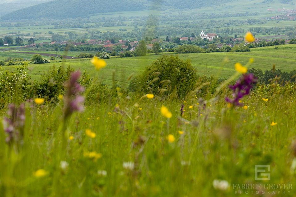 Spring flowers in Transylvania near village of Miklosvar in Romania