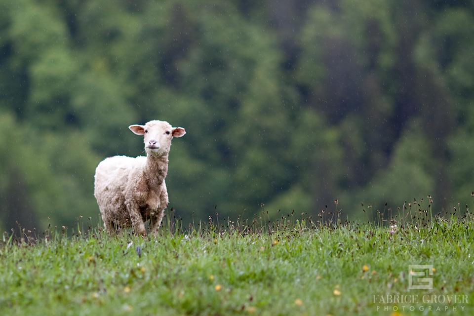 A sheep in the rain on the hills near Miklosvar, in Transylvania, Romania