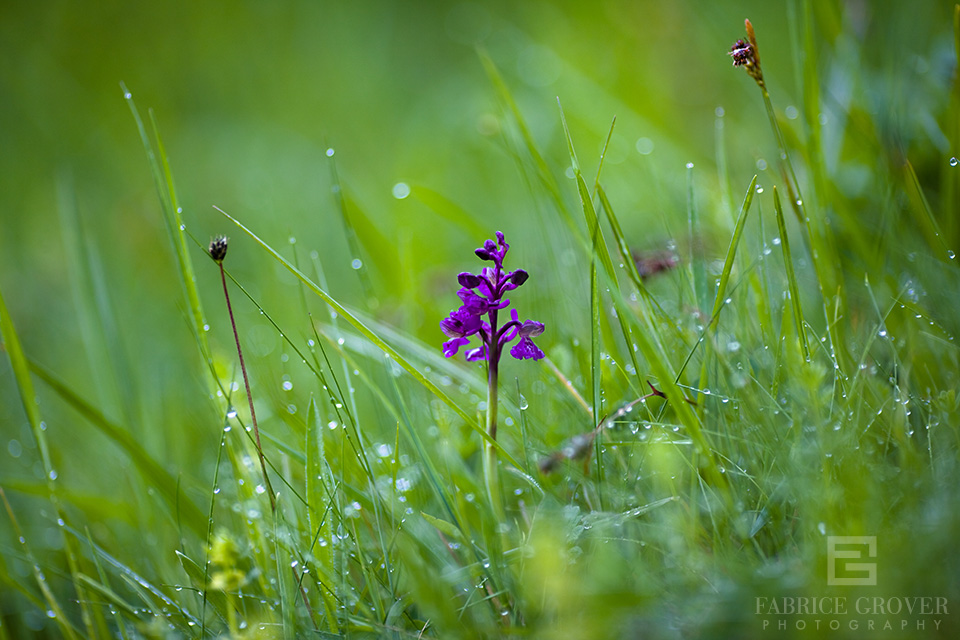 A wild Orchid grows in a field, Transylvania countryside near  Miklosvar Romania