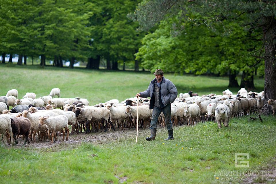 Transylvania shepherd walks with sheep in hills near Miklosvar Romania