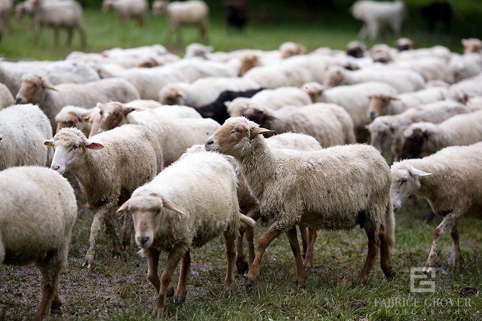 Flock of sheep near shepherd camp in Transylvania Romania