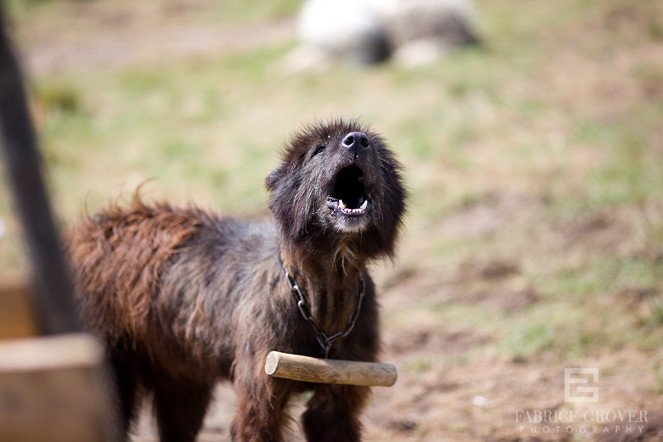 barking shepherd dog in camp, Transylvania Romania